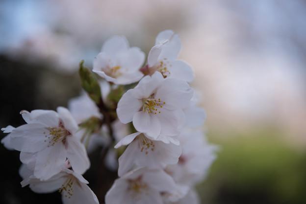 新宿御苑【桜:染井吉野】7