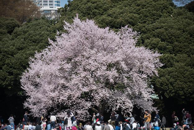 新宿御苑【桜:江戸彼岸】1