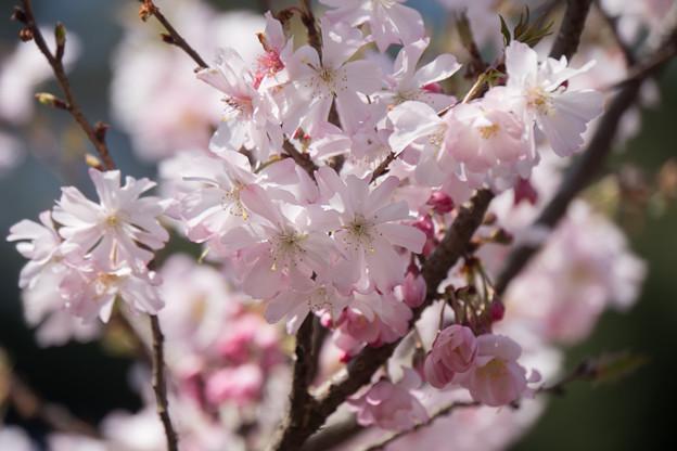 新宿御苑【桜:十月桜】2
