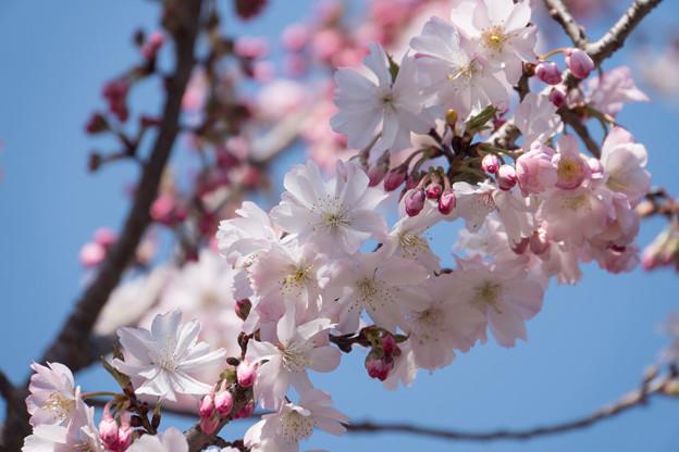新宿御苑【桜:十月桜】3