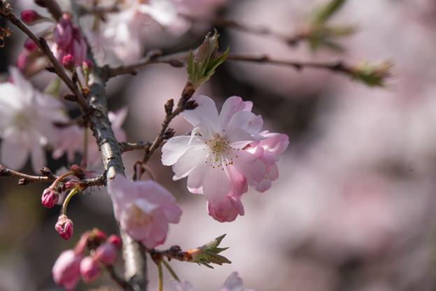 新宿御苑【桜:十月桜】5