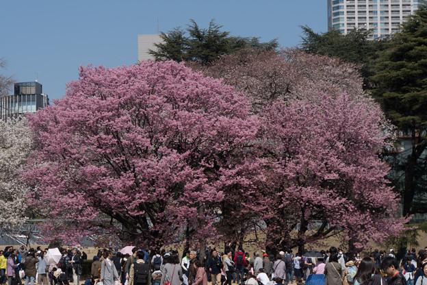新宿御苑【桜:陽光】