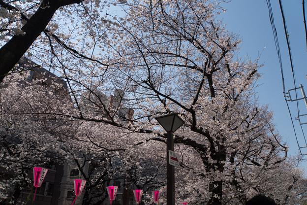 【目黒川の桜並木】2