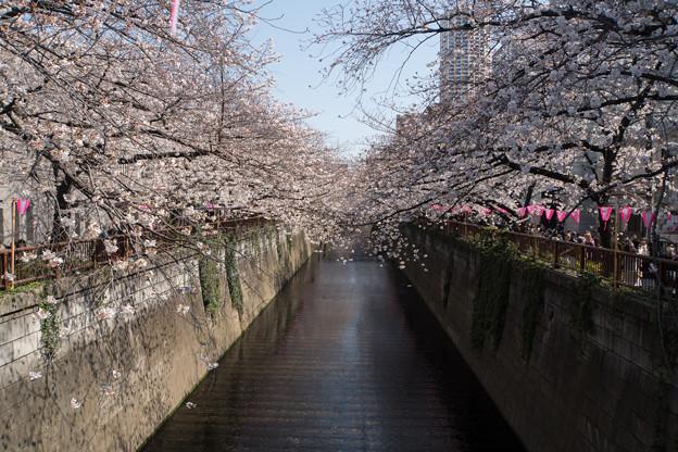 【目黒川の桜並木】4