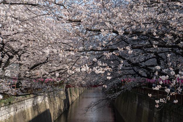 【目黒川の桜並木】5