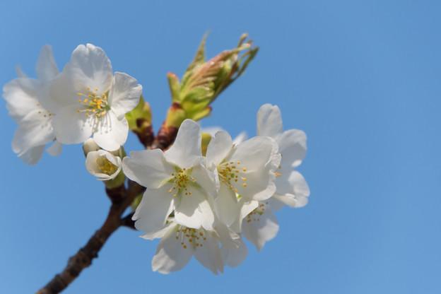 【テリタビーズ公園の大島桜】2