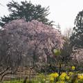 Photos: 【三輪の里の枝垂れ桜】1