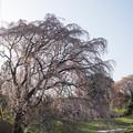Photos: 【三輪の里の枝垂れ桜】2