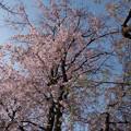Photos: 【三輪の里の枝垂れ桜】4