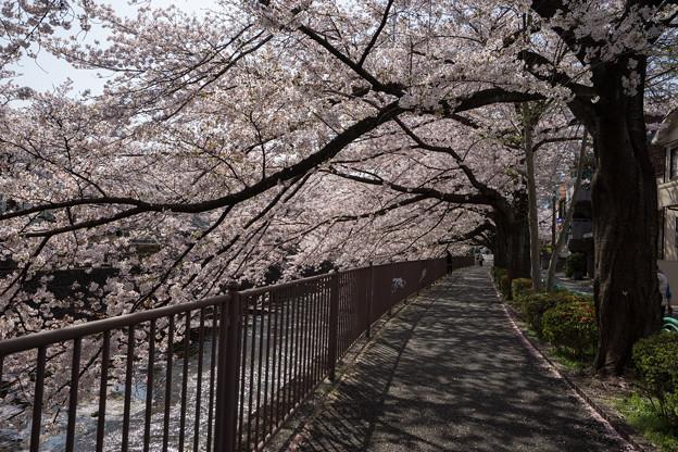 【恩田川の桜】1-5