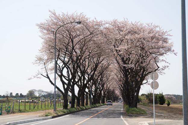 【海軍道路の桜並木】1-1