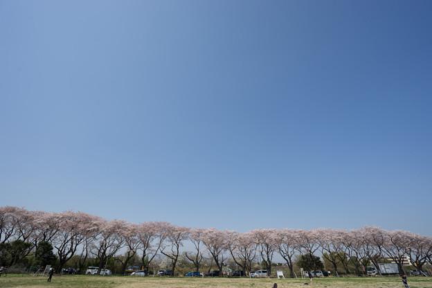 【海軍道路の桜並木】1-2