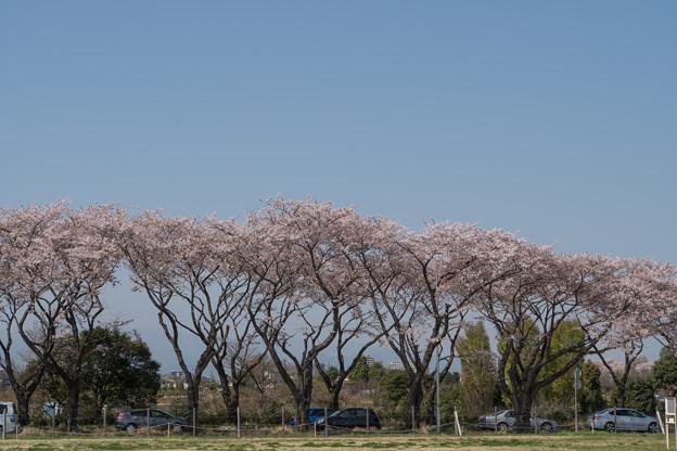 【海軍道路の桜並木】1-3