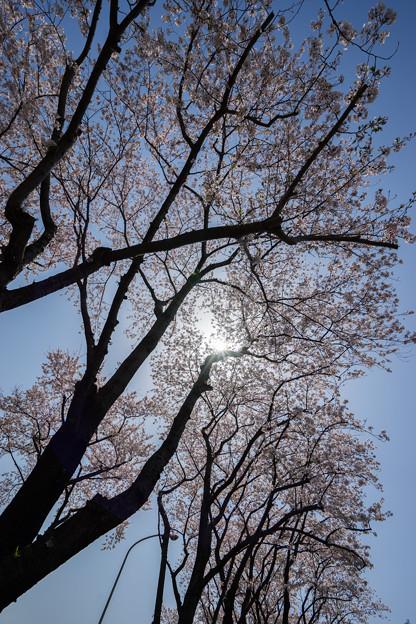 【海軍道路の桜並木】2-2