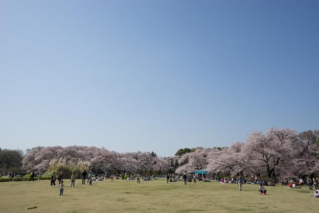 神代植物公園【さくら園の眺め】1