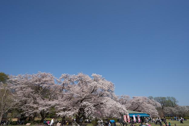 神代植物公園【さくら園の眺め】3