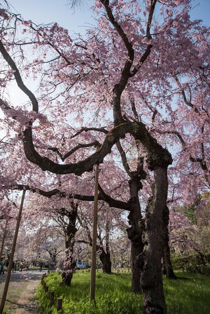 神代植物公園【サクラ:八重紅枝垂桜】3
