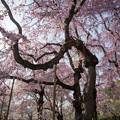 Photos: 神代植物公園【サクラ:八重紅枝垂桜】3