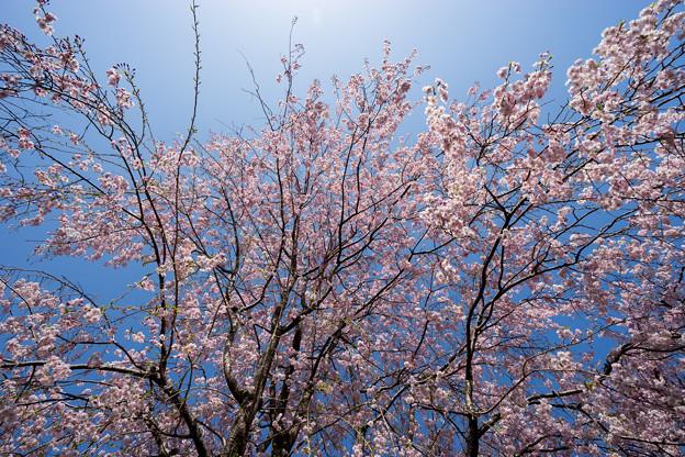 神代植物公園【サクラ:八重紅枝垂桜】5