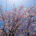 Photos: 神代植物公園【サクラ:八重紅枝垂桜】5
