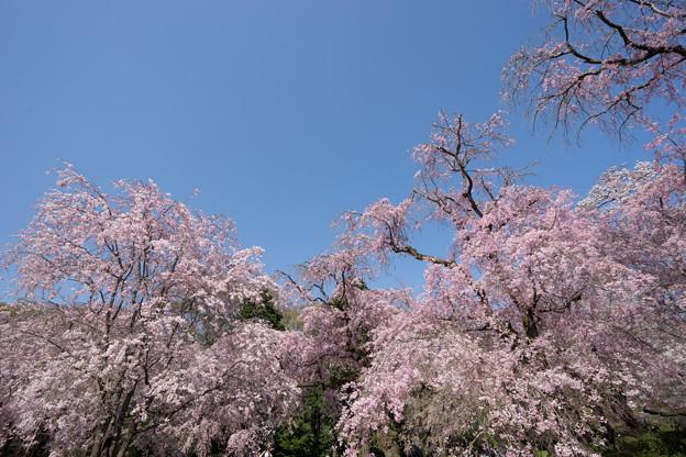 神代植物公園【サクラ:八重紅枝垂桜】6