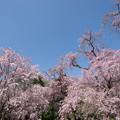 Photos: 神代植物公園【サクラ:八重紅枝垂桜】6