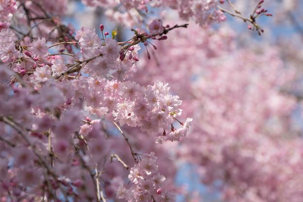 神代植物公園【サクラ:八重紅枝垂桜】7