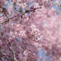 Photos: 神代植物公園【サクラ:八重紅枝垂桜】7