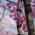 Photos: 神代植物公園【サクラ:横浜緋桜】2