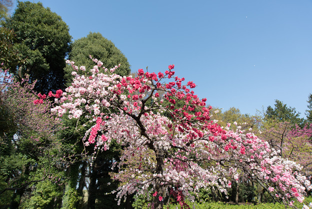 神代植物公園【ハナモモ:源平枝垂】1