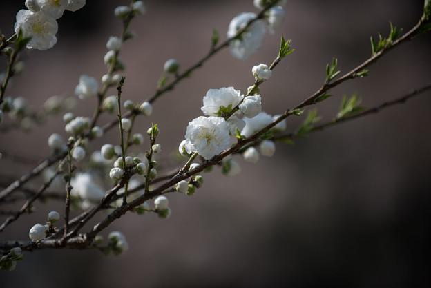 神代植物公園【ハナモモ:白八重】