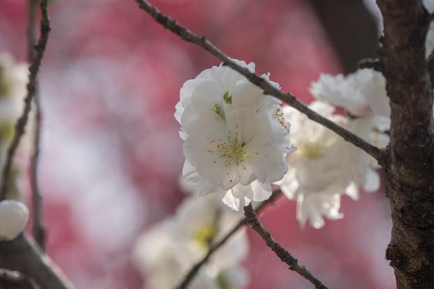 神代植物公園【ハナモモ:源平】