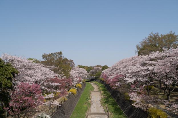 昭和記念公園【ふれあい橋周辺の桜】1