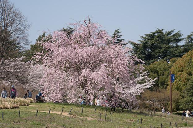 昭和記念公園【ふれあい橋周辺の桜】5