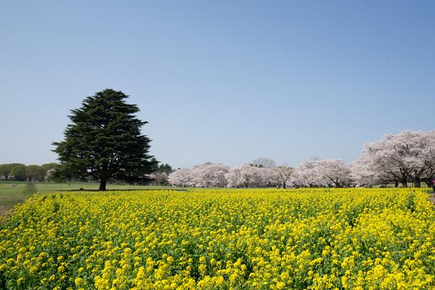 昭和記念公園【桜の園】1