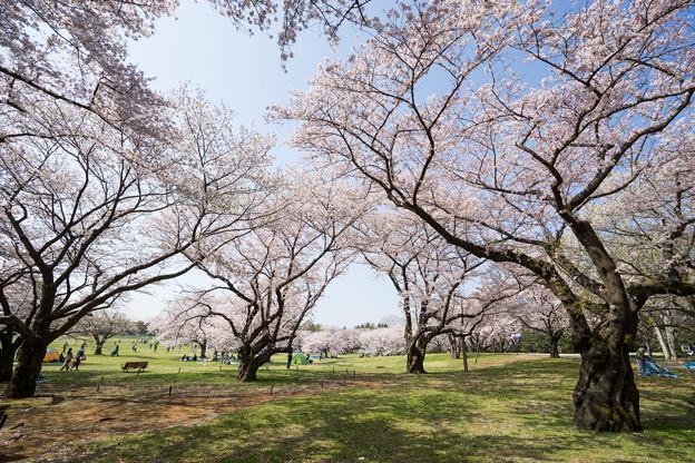 昭和記念公園【桜の園】6
