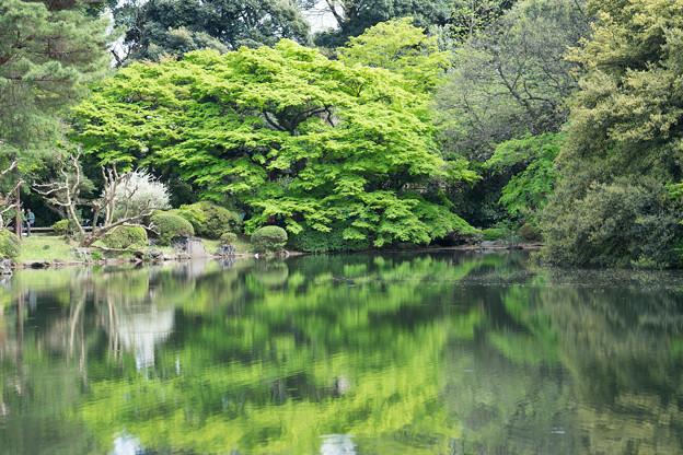 新宿御苑【新緑のモミジ】