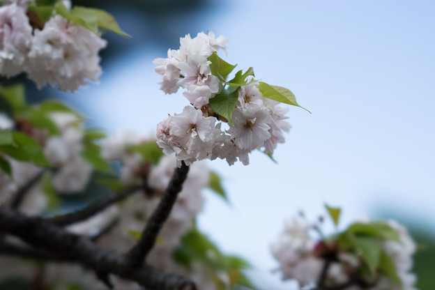 新宿御苑【里桜:一葉】4