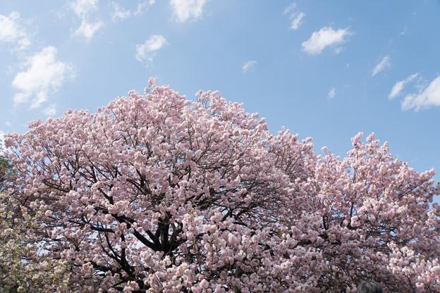 新宿御苑【里桜:福禄寿】2