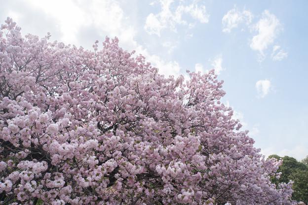 新宿御苑【里桜:福禄寿】3