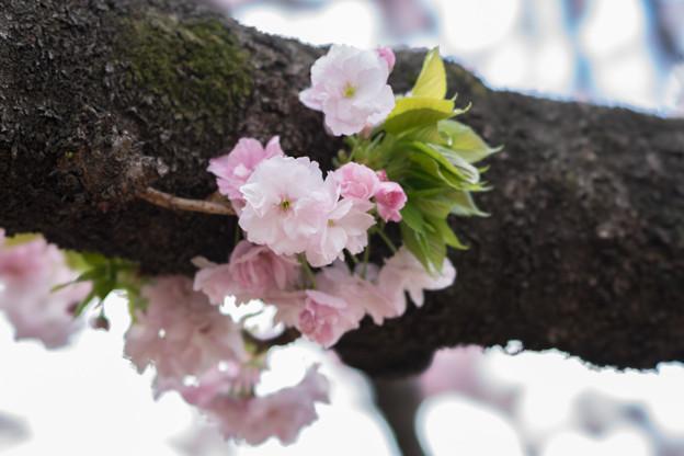 新宿御苑【里桜:福禄寿】5
