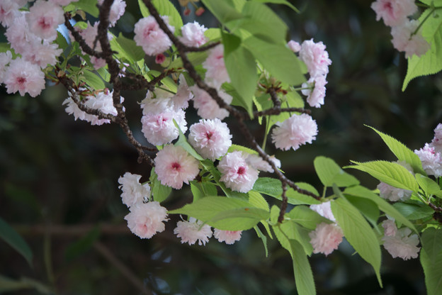 新宿御苑【里桜:兼六園菊桜】3