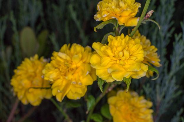 庭の花【ヤマブキ】