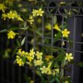 庭の花【カロライナジャスミン】