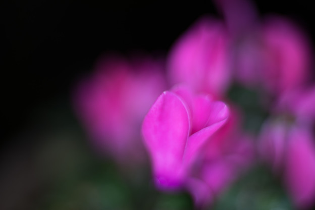庭の花【シクラメン】