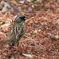 写真: 座間谷戸山公園【野鳥:アオジ】1