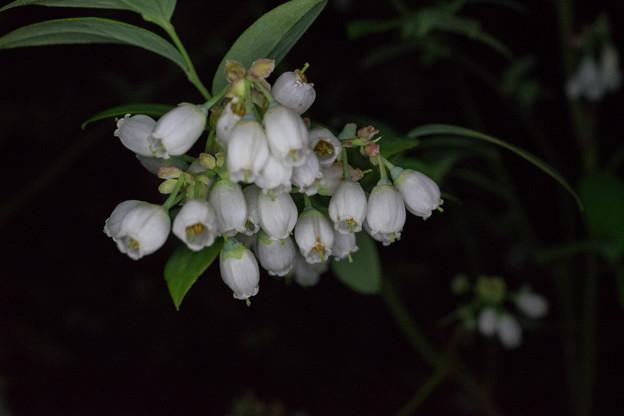 庭の花【ブルーベリー】2