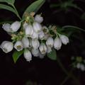 写真: 庭の花【ブルーベリー】2