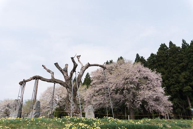 東北お花見ツアー【釜の越公園桜群】1