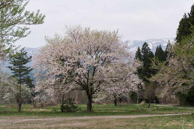 東北お花見ツアー【釜の越公園桜群】2